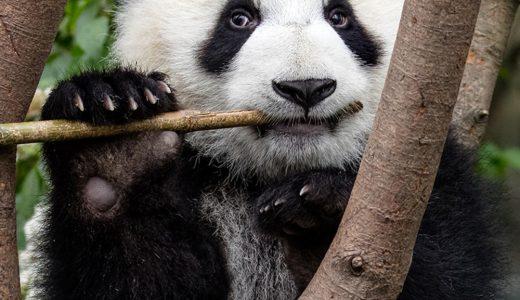 【Q&A】パンダはササや竹しか食べないの?草食動物?それとも雑食動物?