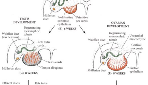 精子の形成-始原生殖細胞から精子の変態まで-
