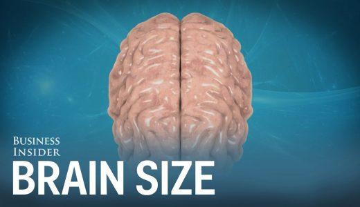 ヒトの脳と様々な生き物の脳の大きさを比較してみた