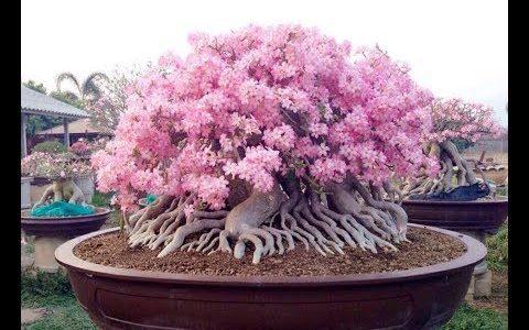 タイの盆栽が異文化すぎてすごい