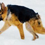 短脊椎症候群のため極端に胴が短いものの元気に走り回る犬の映像