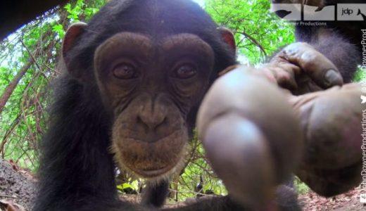 カメラを搭載したロボットカメでチンパンジーの群れの中に突入してみた