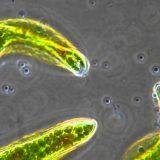 動物細胞?植物細胞?葉緑体を持ちながらも動くミドリムシの映像集