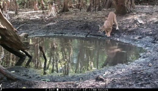 小さな池にセンサーカメラを設置してみたら色んな動物が水を飲みにきていた