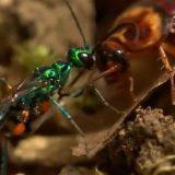 ゴキブリに毒を注射して動けない状態にした後に卵を産み付けるエメラルドゴキブリバチの生態を追った映像