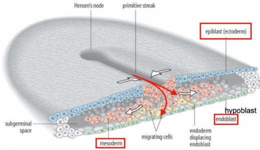 ヒトの発生第3週:三層性(内胚葉・外胚葉・中胚葉)胚盤