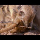 生まれてくる赤ん坊のために実の娘を巣から追放するミーヤキャットの映像