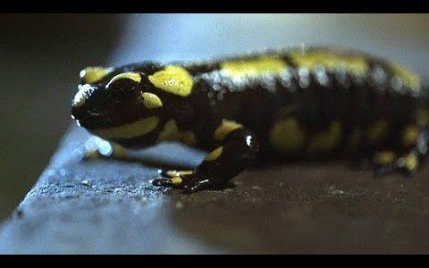 交尾を終えて産卵しようとしているイモリにさらに交尾を試みるカエルが撮影される