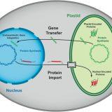 ミドリムシの進化-ミドリムシはどうやって葉緑体を手に入れた?-