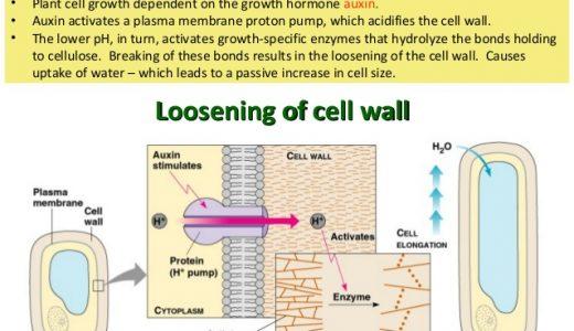 オーキシンによる細胞の成長:酸成長説