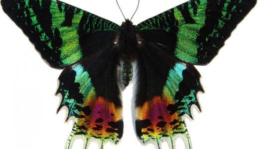 【Q&A】美しすぎるニシキオオツバメガは蝶?それとも蛾?