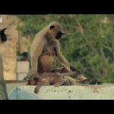 【閲覧注意】新しいサルのリーダーが群れの中の赤ちゃん猿を殺す【同種殺し】