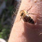 ミツバチは刺した後に死んでしまうのか?どうなるか実験してみた