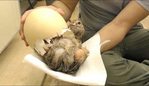 ダチョウの卵の殻を割ってヒナが孵化するのを手助けしてみた