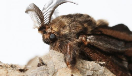 【雑学】ミノムシ(オオミノガ)のメスは成虫になっても足も羽も生えず蓑から出ない
