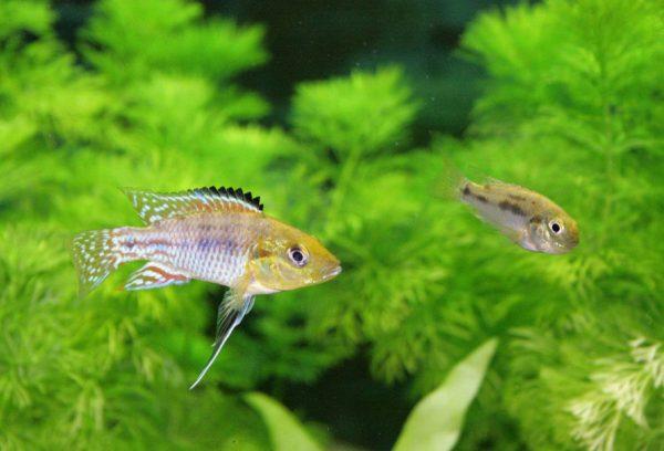 同所的種分化とは?シクリッド(魚)の分化   バイオハックch
