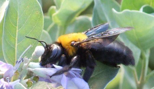 【Q&A】クマバチは刺すの?刺さないの?