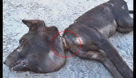 首元にワイヤーが絡まったまま成長してしまった犬を救出した