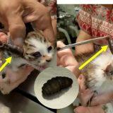 【閲覧注意】ヒツジバエ科のハエの幼虫に寄生された子猫たちを救出した