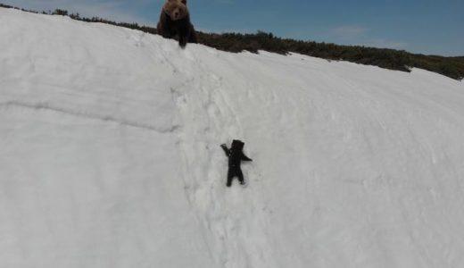 雪の断崖絶壁を登ろうとするも滑り落ちてしまう子グマの映像