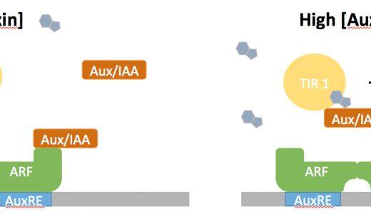 植物ホルモンが作用する仕組み-AUX/IAAタンパク質・EIN3タンパク質-