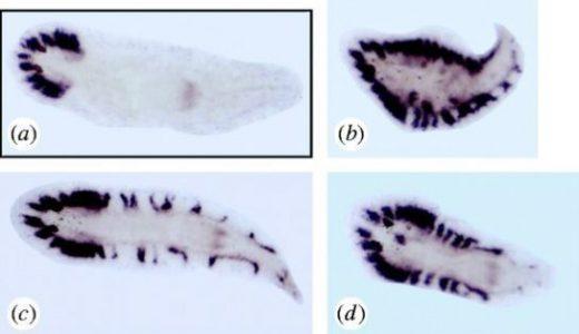 Nou-darake遺伝子(ndk遺伝子)とNou-nashi遺伝子