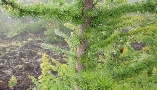 【Q&A】落葉する針葉樹(落葉針葉樹)は存在するの?