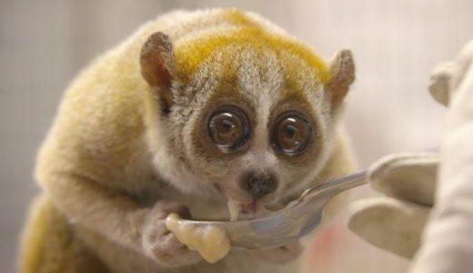 霊長類で唯一毒を持つ生物「スローロリス」がかわいすぎる!