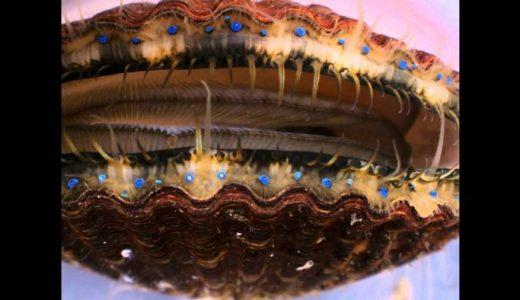 たくさん並んだ貝の青眼がきれいすぎてすごい