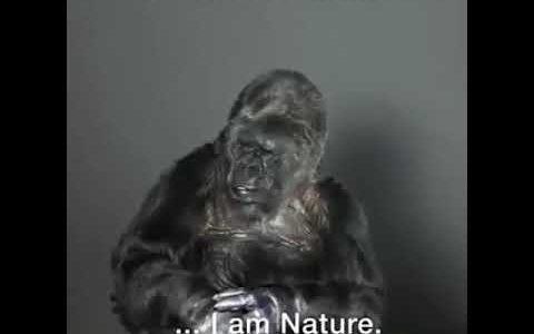 世界初の手話を話せるゴリラ「ココ」が人間に向けてメッセージを発する
