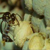 トックリバチが壺状の巣を作りイモムシを入れる様子を撮影してみた