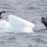 氷の上に取り残されたアデリーペンギンの赤ちゃんがヒョウアザラシに発見されてしまう
