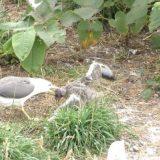 ウミネコの成鳥に激しく攻撃されるヒナの様子を撮影してみた
