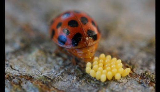 テントウムシが卵を産んでから孵化・蛹化・羽化するまでの過程を撮影してみた