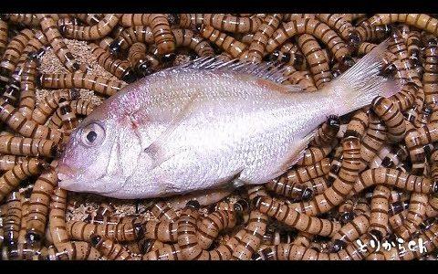 【閲覧注意】ジャイアントミルワームに鯛を与えて骨格標本化してみた