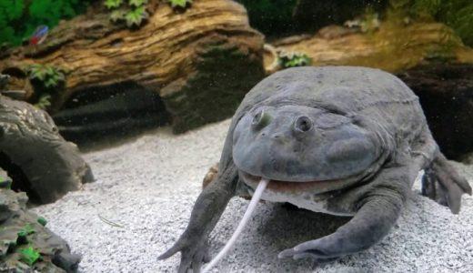 マルメタピオカガエルという最近の流行りにのってそうなカエルがマウスを一気飲みする映像