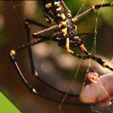 クモの巣にカエルがひっかかったらどうなるかを撮影してみた