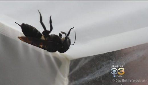 2019年1月に初めて生きている姿が撮影された世界最大のハチ「ウォレス・ジャイアント・ビー」がすごい