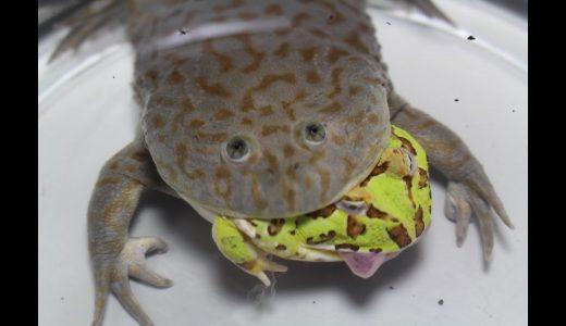 【閲覧注意】バジェットガエルが次々に巨大オタマジャクシを捕食していく映像
