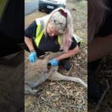 死んでしまった母カンガルーの袋から赤ちゃんカンガルーを救出する映像