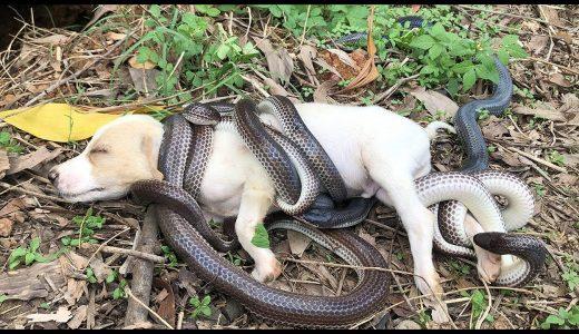 ヘビにめちゃくちゃ巻き付かれて困り果てているイヌの映像