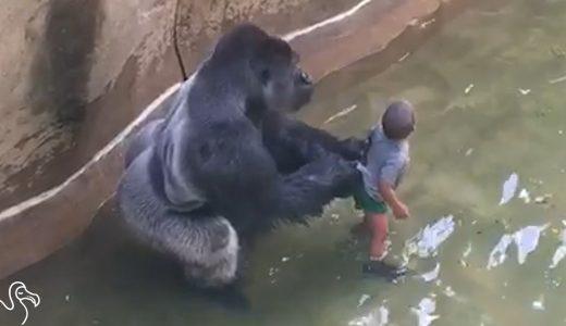 子どもがゴリラの檻の中に落ちた!!絶対絶命と思いきや…
