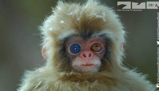 ニホンザルが集まる温泉にロボ猿を配置して様子を撮影してみた