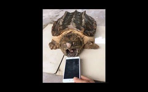 カミツキガメの顎の強さと凶暴さを思い知らされる映像