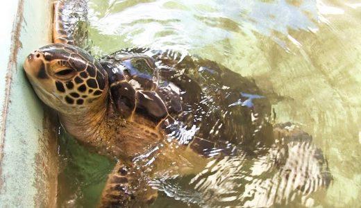 日本で絶滅危惧「アオウミガメ」を食べることができるのはどこ?どんな味?