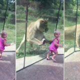 小さな女の子を襲おうと忍び寄るライオンの映像