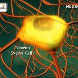神経細胞の活動電位の伝導の速さはどれくらい?