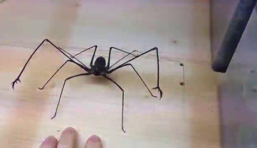 まるで3D映像!ウデムシが威嚇しながら攻撃してくる動画