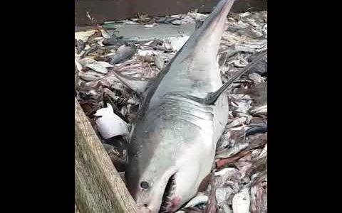 【500万再生】漁網にかかり捕獲されたホオジロザメがめちゃくちゃデカイ!!