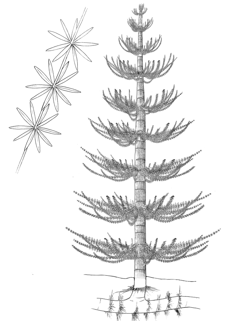 石炭紀に繁栄した木生シダ植物はどのような植物? | バイオハックch